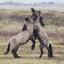 Konikpaarden in de Slufter