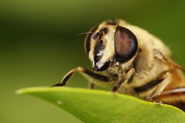 Blinde bij van dichtbij... - Deze zweefvlieg doet, in tegenstelling tot een hoop wespenimitators, een bijtje na... In het groot bekijken is de moeite