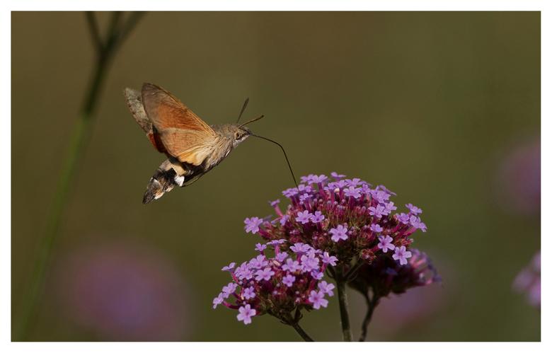 Velp 13-9-2020 Kolibrievlinder (Macroglossum stellatarum) 2 - Kolibrievlinder die bijtankt op een Verbena. In een Brabantse kloostertuin waren de koli