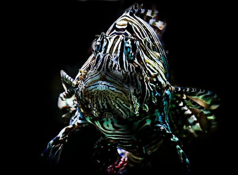 fascinerende vissoort............... - altijd als ik langs een aquarium kom in de dierentuin blijf ik steeds een tijdje kijken naar deze vis; hij fasc
