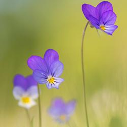 Happy violets