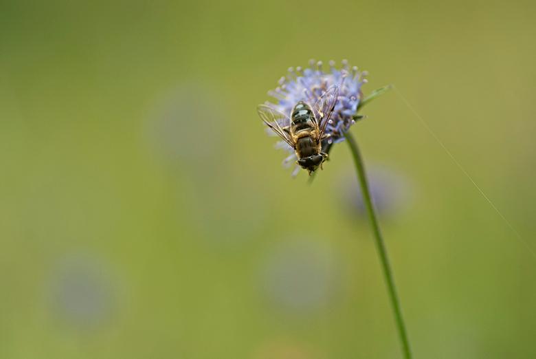 Zacht blauw - Zweefvlieg op een Zandblauwtje.<br /> <br /> Bedankt voor de vele reacties op mijn vorige upload.