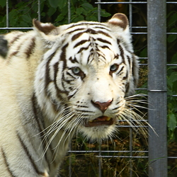 Bengaalse tijger zoo thulle de