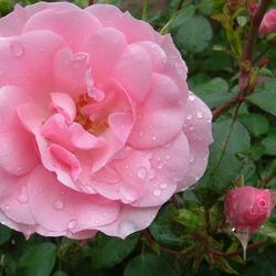 rose roos