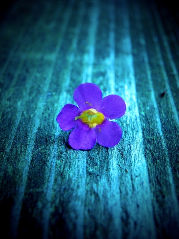 Bloemetje op oude verweerde plank - Ik heb wat foto's gemaakt van bloemen op een plank. Ik heb ze geschoten in de stand 'donker', hierd