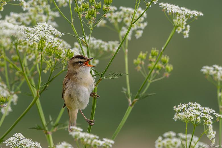 Rietzanger - Meestal kom je mm's te kort bij vogelfotografie. Deze rietzanger zat pal voor de vogelhut en ik moest zelfs mijn converter er tussen