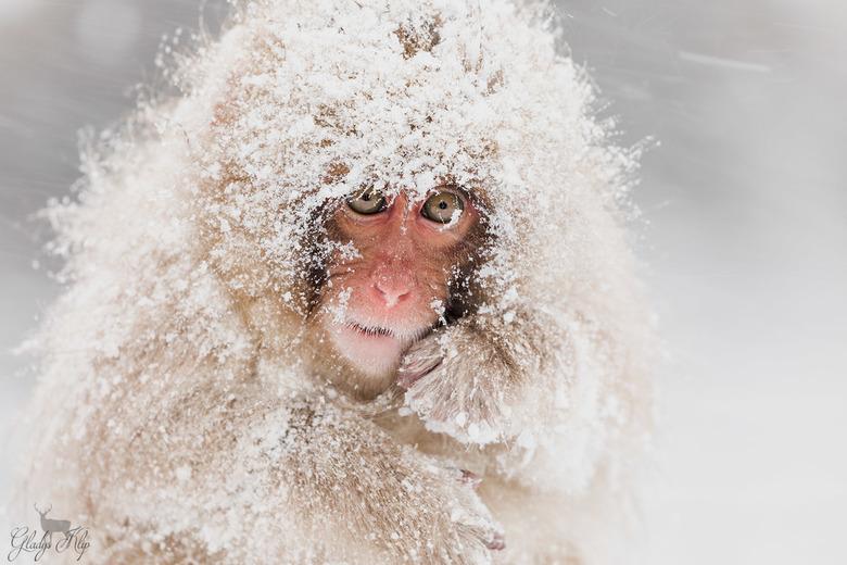 Snow monkey in sneeuwstorm - Ik ben zojuist teruggekomen van een fenomenale reis naar Japan. De snow monkeys waren slechts 1 van mijn favoriete dieren