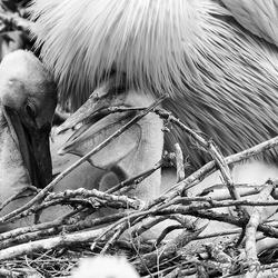 Jonge pelikanen