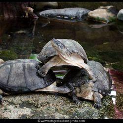 schildpadden acrobatiek