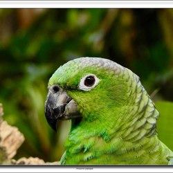 Amezone papegaai