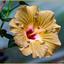 Gele Hibiscus_DSC5290