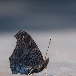 Dagpauwoog vlinder