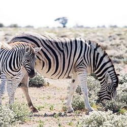 Zebra moeder met jong