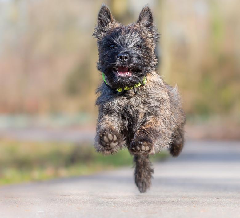 Nicky (Cairn Terrier) - Tja het is weer wat anders dan vogels maar deze actie foto van Nicky(4maanden oud) vind ik wel de moeite waard om te laten zie