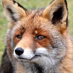 mevrouw vos..