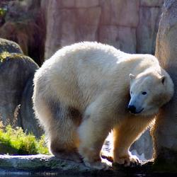 ijsbeer heeft jeuk