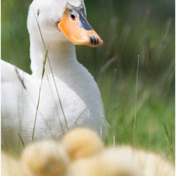 Mama eend met kroost