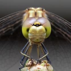 libelle in eigen tuin