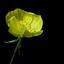 Teunisbloem: lelie-van-één-nacht