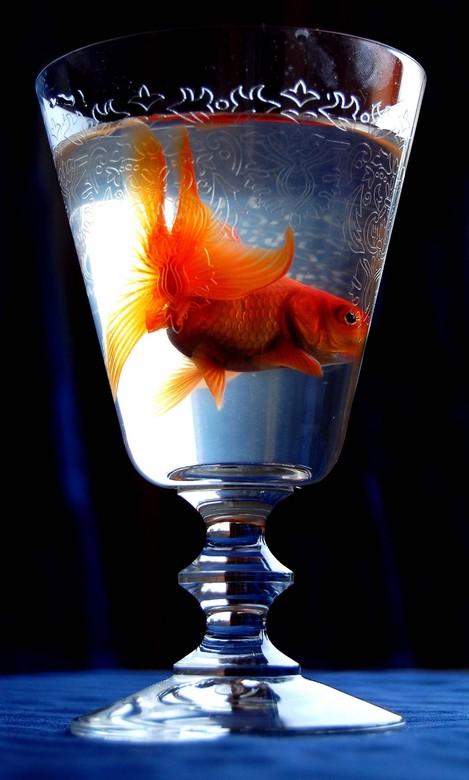 Goudvis - Een goudvis in een wijnglas. Hij zat er hooguit 10 minuten in dus dierenliefhebbers, geen zorgen. Hierna ging hij terug in een schoongemaakt