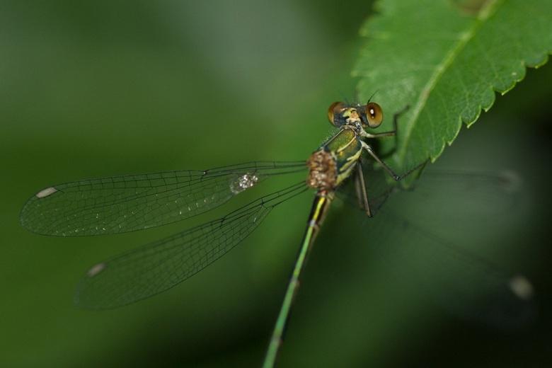 Libelle  - Deze foto gewoon in de achter tuin gemaakt zat goed stil zodat ik goed de foto kon nemen