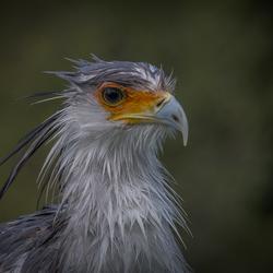 Secretarisvogel na een regenbui ..