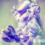Wilde bos hyacint