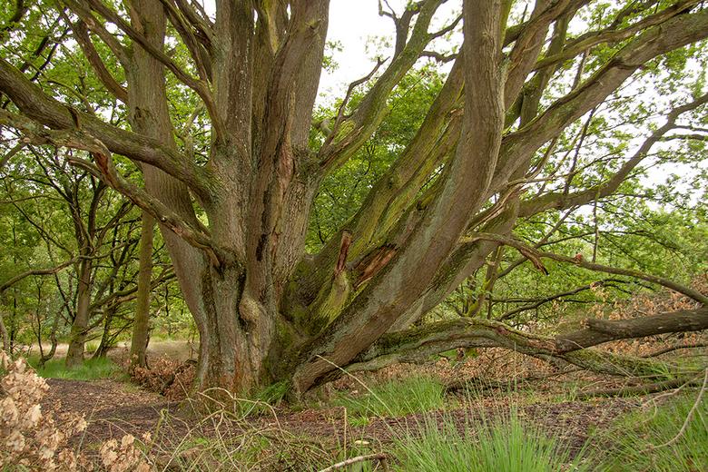 Eerbiedwaardig... - is deze eeuwenoude eik in de Drunense Duinen. Hij wordt geschat tussen de 400 en 600 jaar oud te zijn! Wat je hier ziet is zijn kr