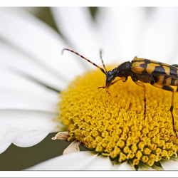 Insect op margriet.