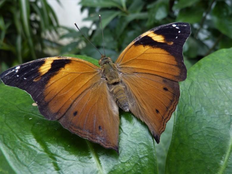 Prachtige vlinder . - Gemaakt in een vlindertuin , in Franktijk.