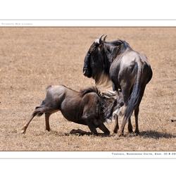 Blue Wildebeest II