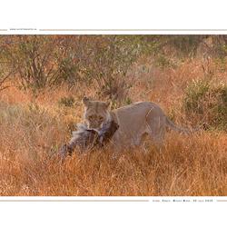 Lion with prey, Kenia