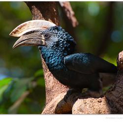 Neushoornvogel in Tarangire
