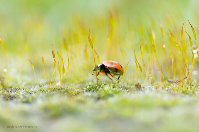 Mosjes als bos. - Steen begroeit met mosjes.  Terwijl ik de mosjes met waterdruppels aan het fotograferen was met mjin macro lens. Kwam er een lievehe