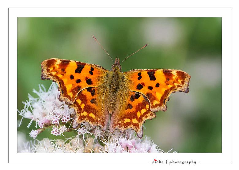 Gehakkelde Aurelea - Deze prachtige vlinder zat vanmiddag (3 september 2013) in onze tuin op het leverkruid. Deze vlinder komt niet heel vaak in onze