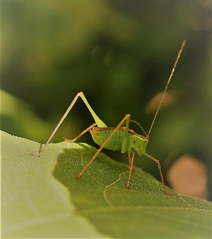 007 (2) - dessen is gemaakt in mijn tuin zat op een <br />   plant de sprinkhaan .                          is gelakt met een staart lens 1\160  4.5