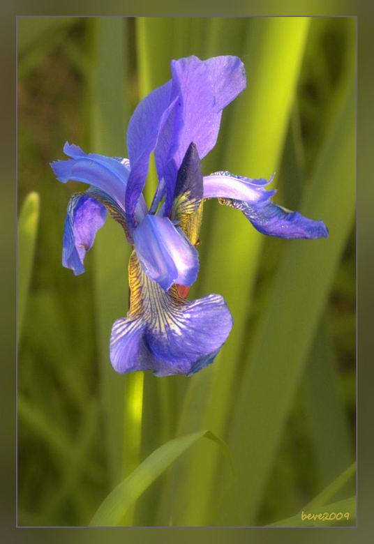 Blauwe lis - Vanavond na het eten toch nog even naar het Duivense broek geweest ondanks de stormachtige wind . Deze lis stond onderaan de berm van een