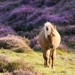 walking through the purple hills