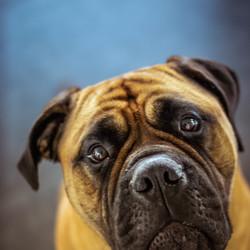 aandachtvragende hond