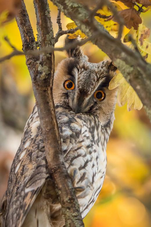 Looking at me - Ransuil in door herfst gekleurde boom