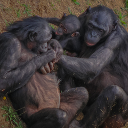 apen samenleving