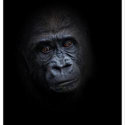 De jongste gorilla man in de Apenheul