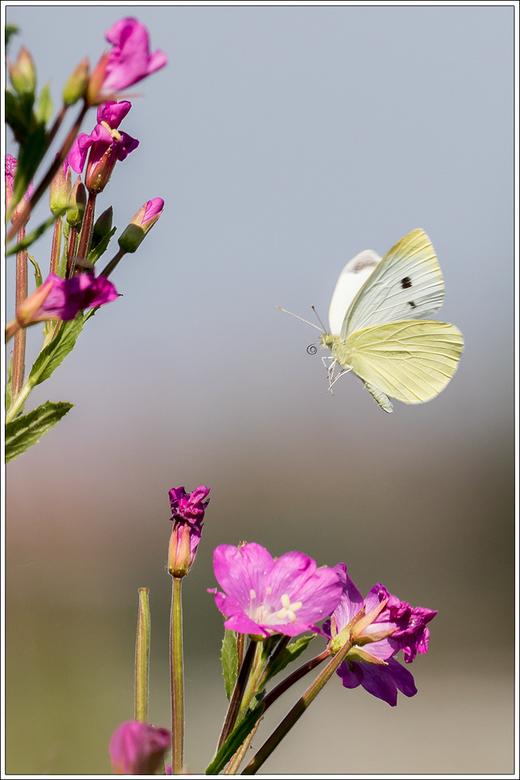 Klein geaderd witje - Vandaag weer naar de Nieuwe Droogmaking geweest.<br /> Ik heb getracht om vliegende vlinders en bijen te fotograferen.<br /> B