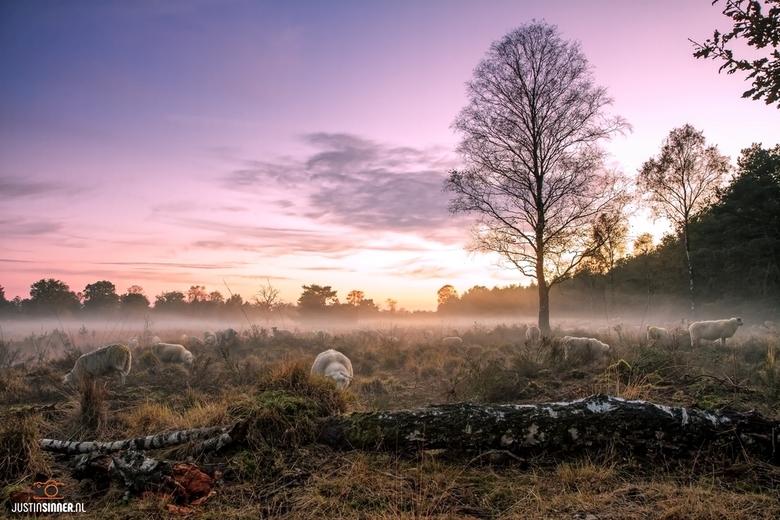 Schaapjes in de mist tijdens zonsondergang op de Veluwe.