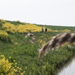 Koolzaad - Etersheim