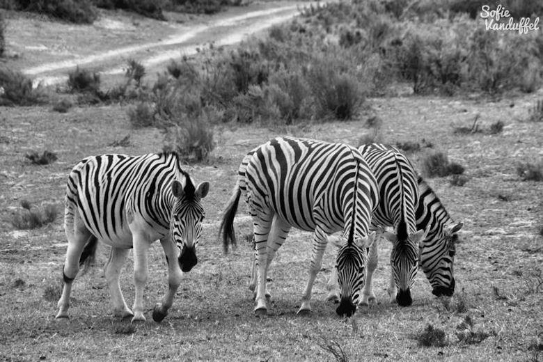 Black & White - Afrikaanse zebra's. Uitzonderlijk prachtige dieren in de natuur!