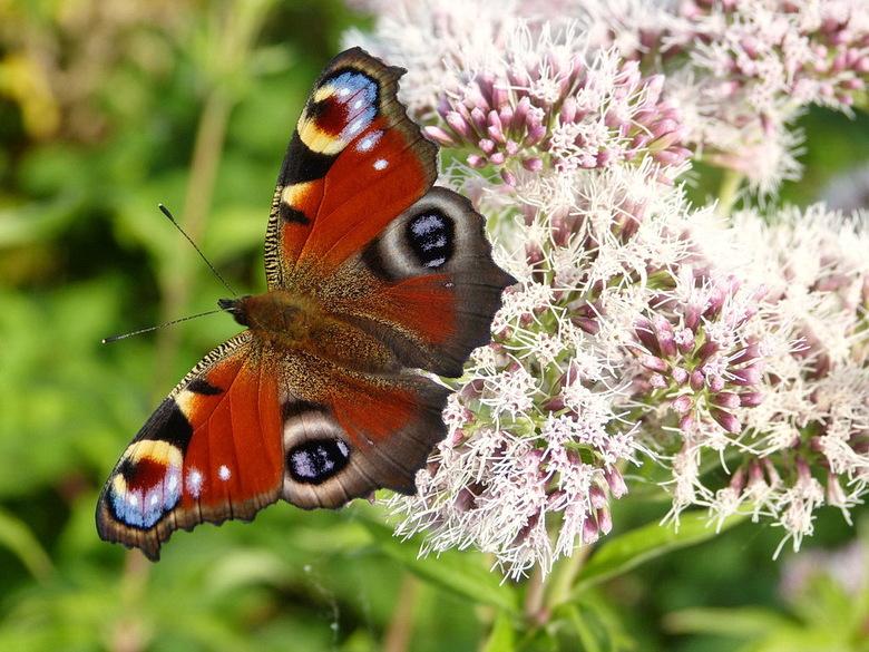 Dagpauwoog. - Kenmerken: De grote, roodbruine vlinder heeft als opvallend kenmerk vier grote oogvlekken op de vleugels, waarvan de buitenranden gekart