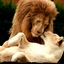 Een stel leeuwen