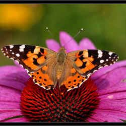 Distel vlinder...