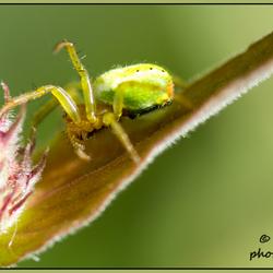 een spin met stippen